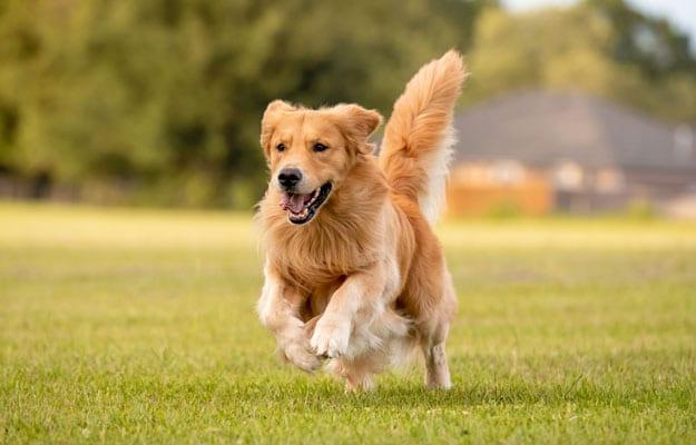 Golden retriever running through the grass