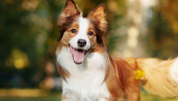 Smiling border collie puppy