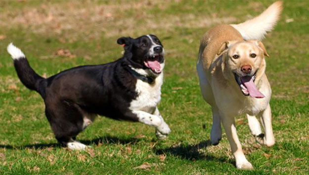 Two dogs running in the grass