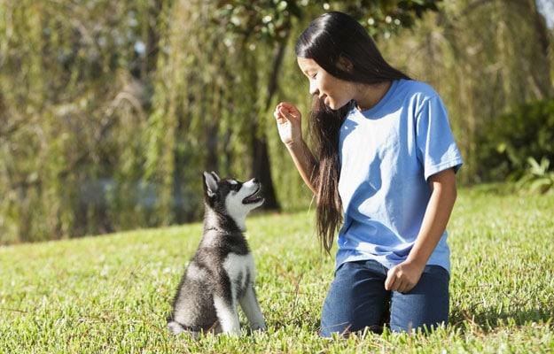 Training a husky puppy